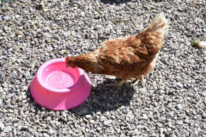 Hen and Water