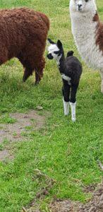 Kimberly the Alpaca and Mummy Marietta
