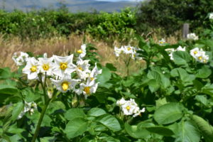 A picture of potato plants and flowers