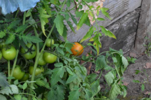 Tomatoes growing in a Polytunnel