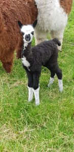 Baby Alpaca Kimberly