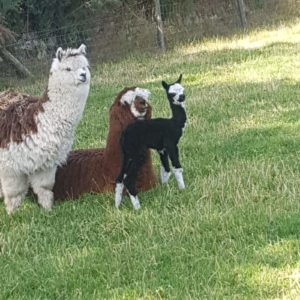 Kimberly the Alpaca, Mummy Marietta and Auntie Oreo