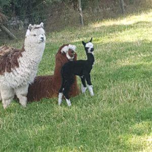 Kimberly the Alpaca, Mummy Marietta and Auntie Oreo
